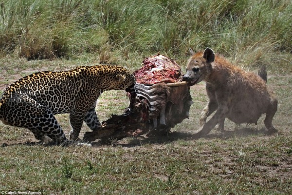 Two Animals fighting