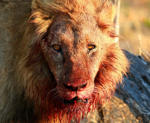 blood lion