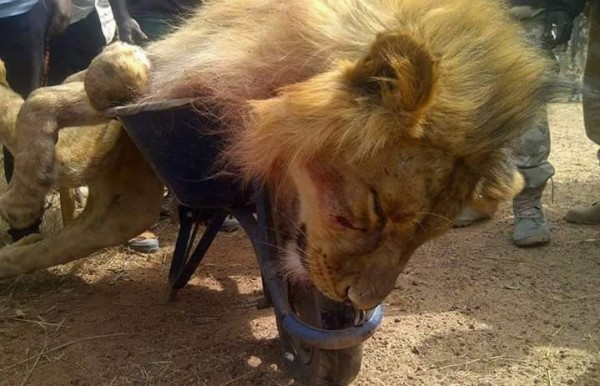 Lion-killed-Jos-zoo-e1449145134985